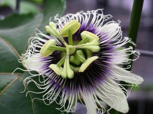 Passiflora_edulis_forma_flavicarpa